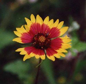 1/16 POUND GRAINES INDIENS fleur couvrante A MUST POUR LA COULEUR ET LE JARDIN PAYSAGE de la marque SVI image 0 produit
