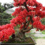 10 PCS rouge fleurs de cerisier japonais Graines Cour Jardin Bonsaï Graines Petit arbre de Sakura Graines Couleurs mélangées de la marque SVI image 3 produit