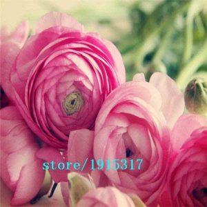 100 pcs fleurs Ranunculus, renoncule persian Pour Maison & Jardin Plantes Bricolage Persian Buttercup semences Livraison gratuite bulbes de fleurs de la marque SVI image 0 produit