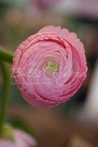 """150 Bulbes/tubercules de Renoncules """"Rose"""" - Livraison Gratuite de la marque Bulbs & beyond image 0 produit"""