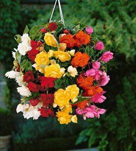 20 Bégonias retombants à grosses fleursen mélange de la marque Willemse France image 0 produit