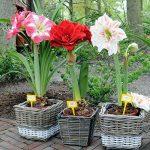 2016 Hippeastrum graines bulbes bonsaï amaryllis barbade jardin potager lily bricolage lys en pot 100pcs graines bonsaï balcon de fleurs / sac de la marque SVI image 1 produit