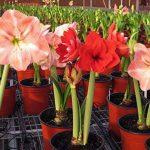 2016 Hippeastrum graines bulbes bonsaï amaryllis barbade jardin potager lily bricolage lys en pot 100pcs graines bonsaï balcon de fleurs / sac de la marque SVI image 2 produit
