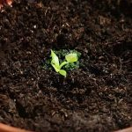 30 Graines Attrappe-mouches de Vénus - Dionaea muscipula / Dionée - plantes carnivores de la marque image 3 produit