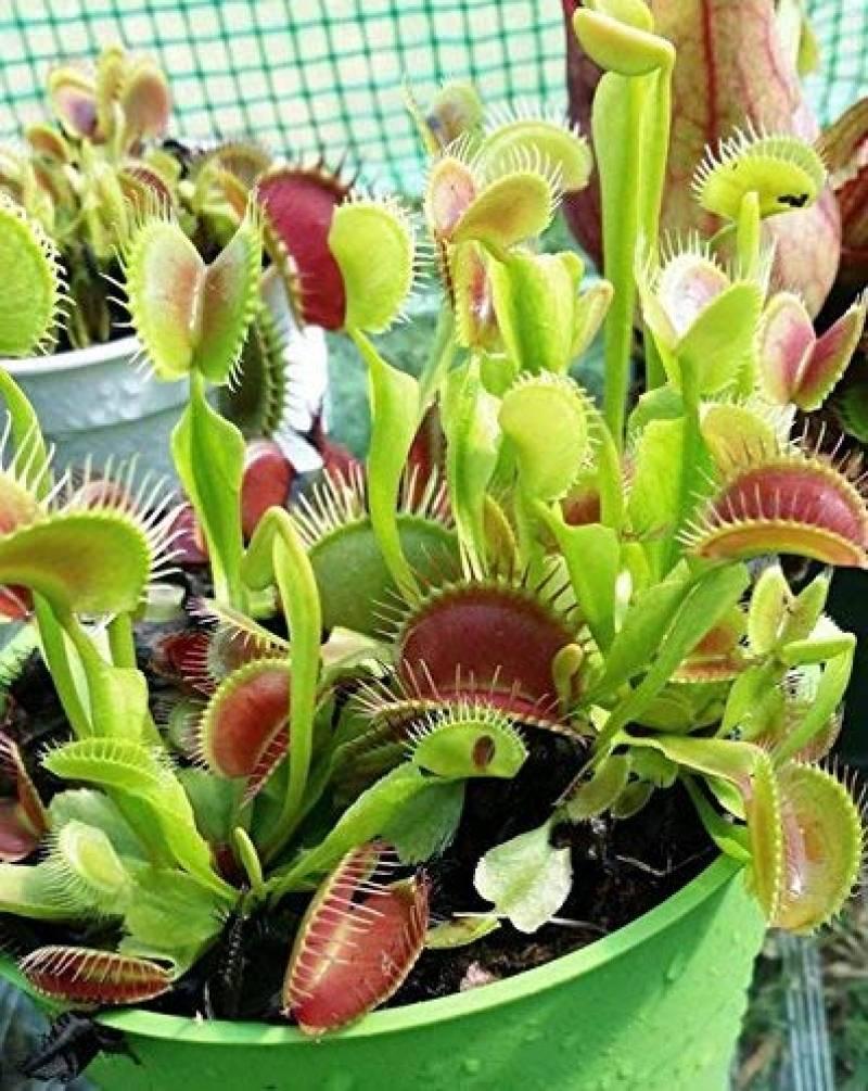 20 Pcs Venus Fly Trap Dionaea Muscipula Graines De Plantes Carnivores Nouveau