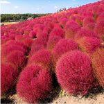 300pcs Semences de l'herbe PerennialGrass buisson ardent Kochia Scoparia Jardinerie d'ornement facile cultiver une variété de couleurs f58 Violet de la marque SUVRAN image 2 produit