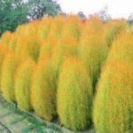 300pcs Semences de l'herbe PerennialGrass buisson ardent Kochia Scoparia Jardinerie d'ornement facile cultiver une variété de couleurs f58 Violet de la marque SUVRAN image 4 produit