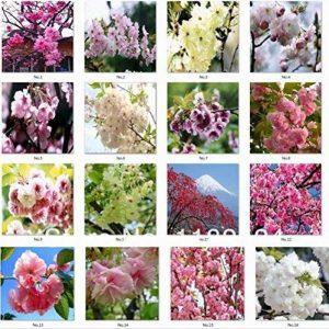 40pcs belles graines de sakura Cherry blossom bonsaï semences de fleurs semences maison bricolage jardin sakura Japon parfum de la marque SVI image 0 produit