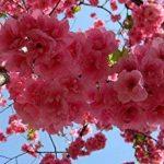 40pcs belles graines de sakura Cherry blossom bonsaï semences de fleurs semences maison bricolage jardin sakura Japon parfum de la marque SVI image 4 produit