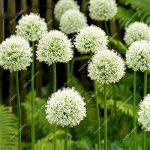 50pcs / sac exotique graines d'oignon géant Allium Pas Bulbes arc-Bonsai Fleurs de jardin en pot plante facile à cultiver de la marque SVI image 3 produit