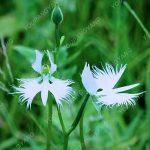 50Seeds / Sac Rare fleur japonaise Radiata du monde Graines de jardin et Plantation d'orchidées White Dove Graines de fleurs blanches d'orchidées de la marque SVI image 2 produit