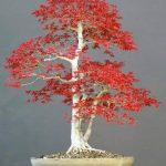 acer palmatum bonsaï TOP 0 image 3 produit