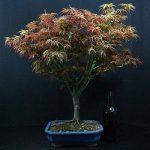 acer palmatum bonsaï TOP 4 image 1 produit