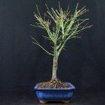 acer palmatum bonsaï TOP 4 image 2 produit