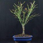 acer palmatum bonsaï TOP 4 image 3 produit