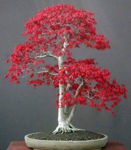 acer palmatum bonsaï TOP 6 image 0 produit