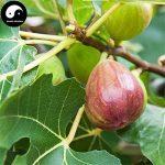Acheter Ficus Carica des arbres fruitiers Graines de plantes fruitières 240pcs figures pour les fruits Ficus Carica de la marque SVI image 2 produit