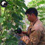 Acheter Japaness Graines de citrouille 30pcs diabète Plant légumes Melon Cucurbita moschata de la marque SVI image 2 produit