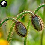 Acheter le terrain de fleur de pavot Graines de plante Papaver Rhoeas Fleurs de pavot Flandres de la marque SVI image 3 produit