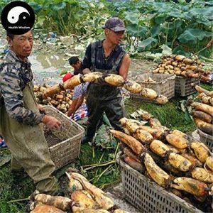 Acheter Racine Lotus légumes Graines de plante eau Nelumbo Nucifera Légumes de Lotus de la marque SVI image 0 produit