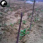 Acheter Violet Asperges Graines de légumes 60pcs légumes plante bourgeons Asparagus officinalis de la marque SVI image 3 produit