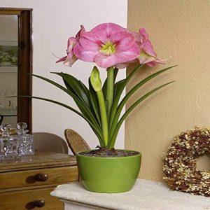 Amaryllis Susan - 1 bulbe de fleur de la marque JardinPourVous image 0 produit