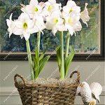 ampoules True Amaryllis, Hippeastrum bulbes bulbes de fleurs bonsaï Amarilis Rizomas Bulbos Barbade Lily jardin de bonsaïs planta -2 ampoule 5 de la marque SVI image 3 produit