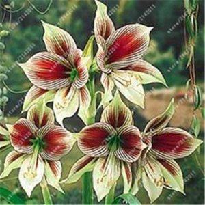 ampoules True Amaryllis, Hippeastrum bulbes bulbes de fleurs bonsaï Amarilis Rizomas Bulbos Barbade Lily jardin de bonsaïs planta -2 ampoule 5 de la marque SVI image 0 produit
