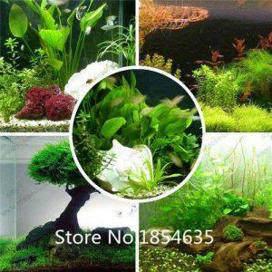 aquarium herbe graines de haute qualité (graminées d'eau aléatoires) aquatiques plantes herbe graines famille graines de plantes faciles - 500 PCS de la marque SVI image 0 produit