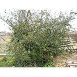 arbre et arbuste à croissance rapide TOP 4 image 1 produit