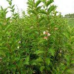 arbre et arbuste à croissance rapide TOP 5 image 1 produit