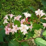 arbre et arbuste à croissance rapide TOP 5 image 2 produit
