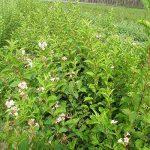 arbre et arbuste à croissance rapide TOP 5 image 3 produit