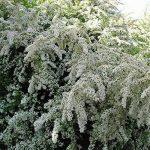 arbre et arbuste à croissance rapide TOP 6 image 1 produit