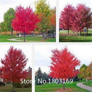 arbre à feuillage pourpre TOP 6 image 0 produit