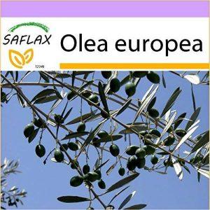 arbre olivier TOP 2 image 0 produit