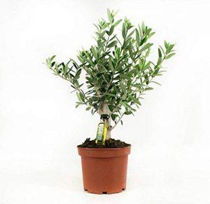 arbre olivier TOP 4 image 0 produit