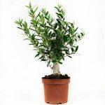 arbre olivier TOP 4 image 1 produit