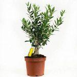 arbre olivier TOP 4 image 2 produit