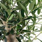 arbre olivier TOP 4 image 4 produit