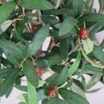 arbre olivier TOP 6 image 1 produit