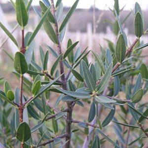 arbuste à feuilles persistantes TOP 1 image 0 produit