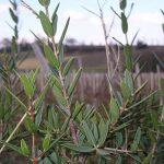 arbuste à feuilles persistantes TOP 1 image 1 produit