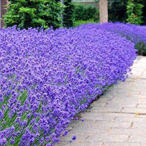 arbuste parfumé TOP 3 image 0 produit