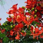 Arbustes à feuilles persistantes Famille Fabaceae Nain Poinciana Graines, Paon Fleur Caesalpinia pulcherrima Graines - 5 particules K89 de la marque SUVRAN image 3 produit
