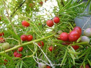 Asparagus sprengeri arbuste parfumé ATRACT oiseau brousse FERN floraison graines 20 graines de la marque SVI image 0 produit