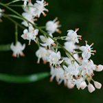 Asparagus sprengeri arbuste parfumé ATRACT oiseau brousse FERN floraison graines 20 graines de la marque SVI image 1 produit