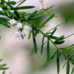 Asparagus sprengeri arbuste parfumé ATRACT oiseau brousse FERN floraison graines 20 graines de la marque SVI image 2 produit