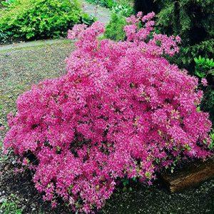 Azalée Mollis rose - 1 arbrisseau de la marque JardinPourVous image 0 produit