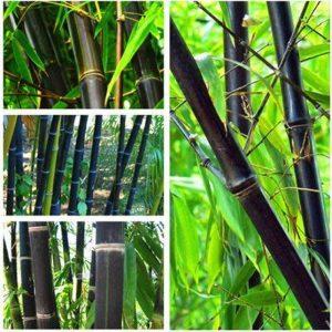 bambou noir TOP 1 image 0 produit